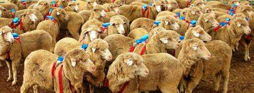 Sheepdogs use just two simple rules to round up large herds of sheep