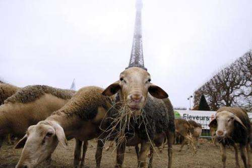 Sheep graze at the Champ de Mars near the Eiffel Tower in Paris during a protest by farmers demanding a  plan to fight against w
