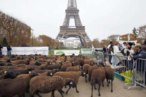 Sheep stand at the Champ de Mars near the Eiffel Tower in Paris during a protest by farmers demanding an effective plan by the e