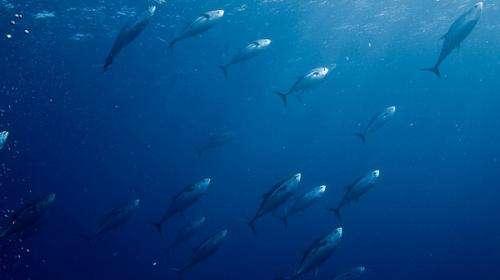 Skipjack tuna fare better under high-res model