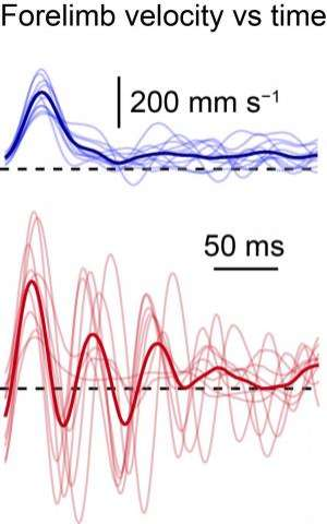 Studies identify spinal cord neurons that control skilled limb movement