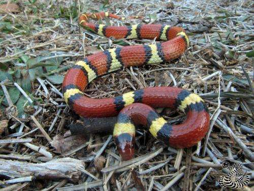 Study finds mimicry increased in scarlet kingsnake snake