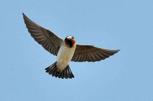 Study of cliff swallows' flight tactics could help design missile guidance systems