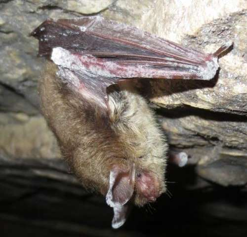 Study of deadly bat disease finds surprising seasonal pattern of infections