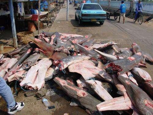 Study says sharks/rays globally overfished