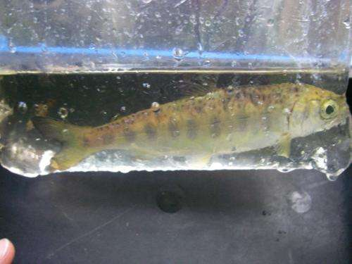 Study shows juvenile coho salmon benefit from dining on the distant remains of their cousins