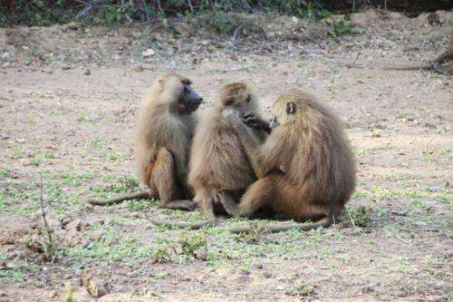 Study shows tolerance and cooperative ties between male Guinea baboons