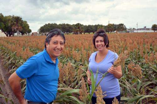 Sugarcane aphids under control as South Texas grain sorghum harvest begins