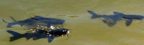 Survey set to prove northern fish disease-free
