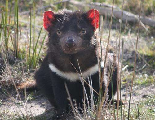 Tasmanian devils survived two big falls in numbers but now need help