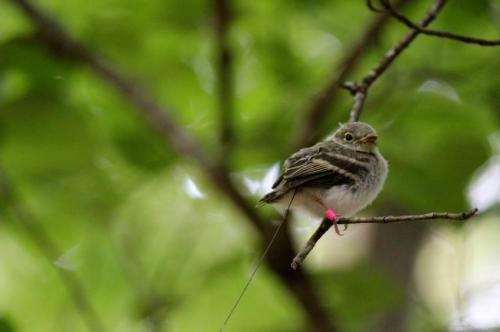 'Teenage' songbirds experience high mortality due to many causes, MU study finds