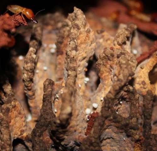 Termites evolved complex bioreactors 30 million years ago