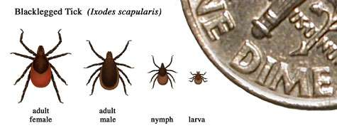 Test for persistent Lyme infection using live ticks shown safe in clinical study