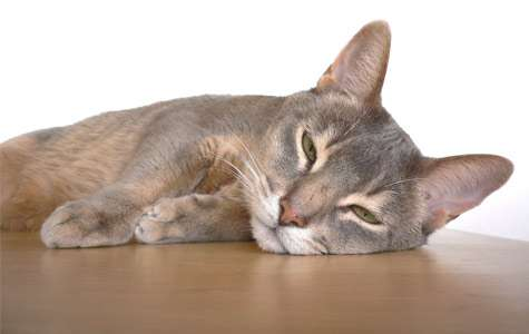 The cat's meow: Genome reveals clues to domestication