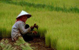 The effects of growing rice in low water and high salt conditions