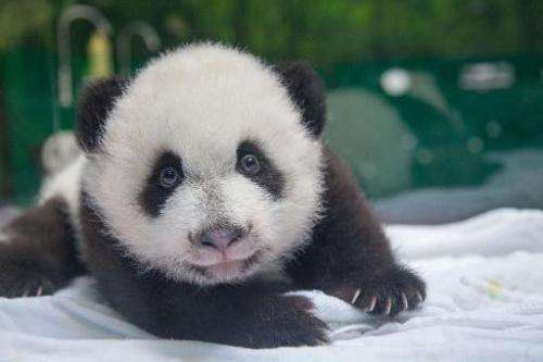 The panda cubs now weigh six kilograms (13 pounds) each, according to the Guangzhou's Chimelong Safari Park