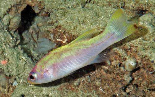 The spot-tail golden bass: A new fish species from deep reefs of the southern Caribbean