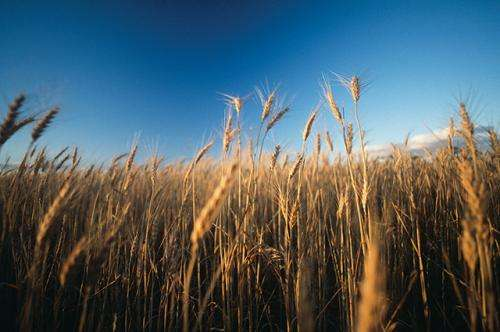 The truth about the war on wheat