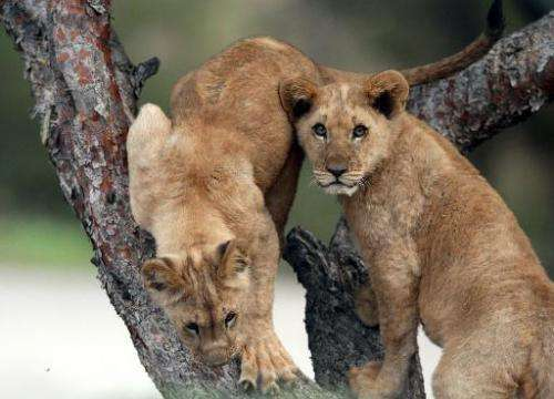 The US Fish and Wildlife Service proposed listing the African lion as threatened under the Endangered Species Act, as loss of ha