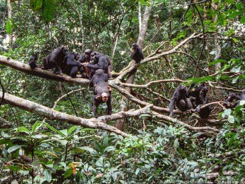 The way to a chimpanzee's heart is through his stomach