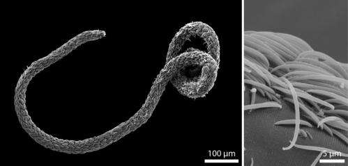 Think big! Bacteria breach cell division size limit