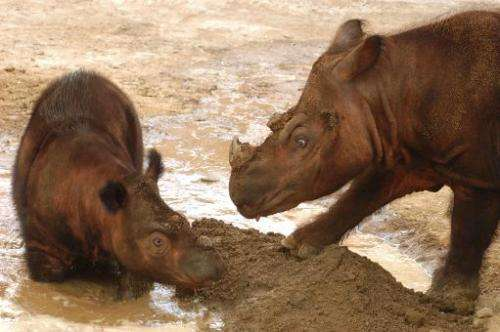 This image courtesy of The Cincinnati Zoo, shows Sumatran rhinoceros Suci (L) and her mother, Emi, at the Zoo on April 18, 2005