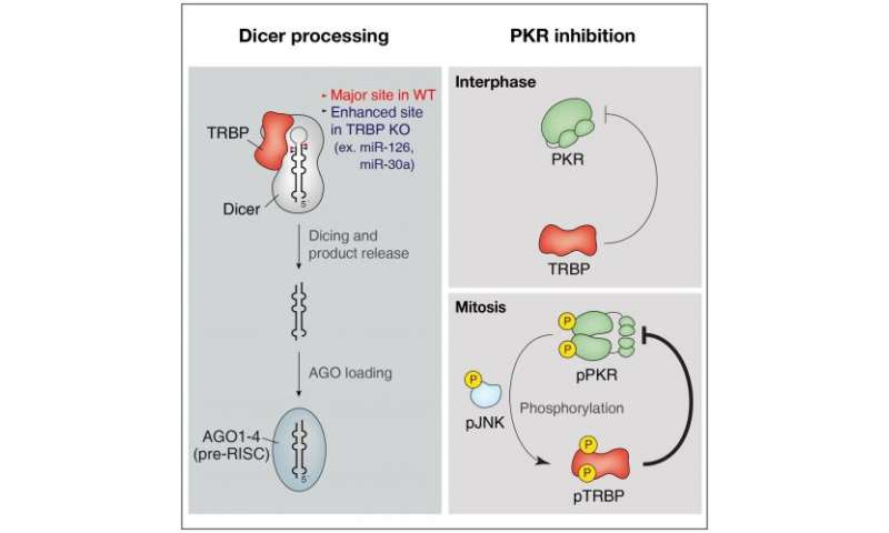 Protein kinase R and dsRNAs, new regulators of mammalian cell division