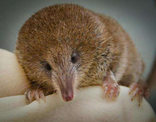 Pygmy shrew population in Ireland threatened by invasion of greater white-toothed shrew