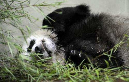 Tian Tian the female Giant Panda at Edinburgh Zoo relaxes in her compound on August 9, 2013