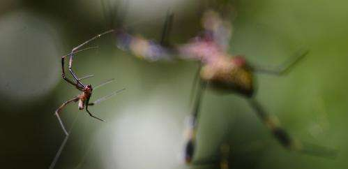 Tiny male spiders can get a leg over – as long as they're picky
