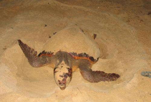 The study of mitochondrial DNA reveals how the loggerhead turtle reached the Mediterranean