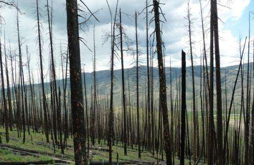 Tree killers, yes, fire starters, no: Mountain pine beetles get a bad rap, study says
