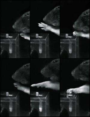 With the right rehabilitation, paralyzed rats learn to grip again