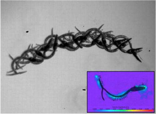 Tropical parasite uses swim stroke not shared by any other creature