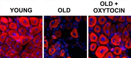 'Trust hormone' oxytocin helps old muscle work like new, study finds