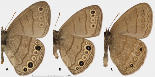 Two new butterfly species discovered in eastern USA