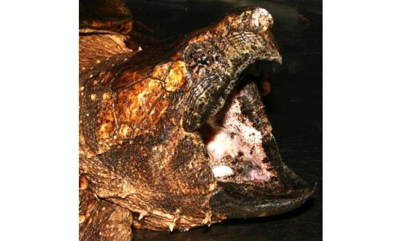 Two new US turtle species described