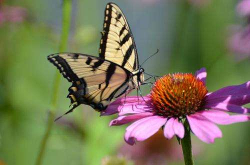 Urbanization, higher temperatures can influence butterfly emergence patterns