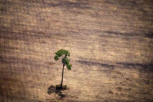 View of a tree in a deforested area in the middle of the Amazon jungle in the state of Para, Brazil, on October 14, 2014