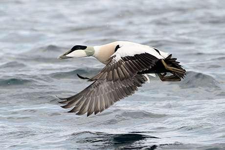 Virus causing mass Cape Cod duck die-offs identified