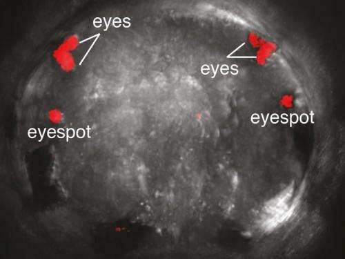 Visual system of marine annelids offers insights into the evolution of eyes