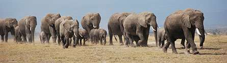 Weighing up the secrets of African elephant body fat