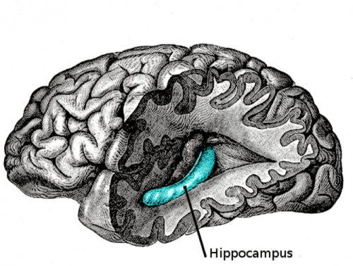 What happens in the hippocampus?