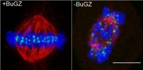 What makes cell division accurate?