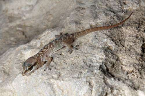 Where do lizards in Qatar live? First distribution maps for the state