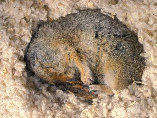 Which genes are activated or silenced by Arctic ground squirrels during hibernation