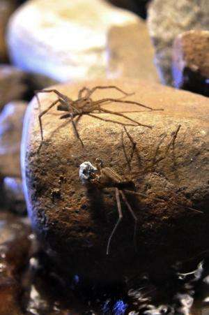 White silk wrappings key to female spider's heart