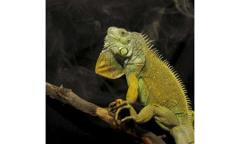 Why lizards have bird breath