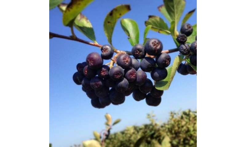 Wild berry extract may strengthen effectiveness of pancreatic cancer drug