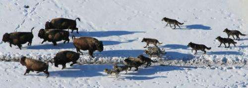 Wolves Cooperate to Hunt Bison